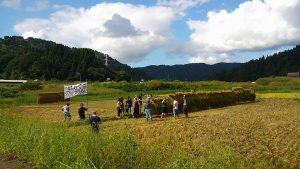 Copy of Copy of Cat w rice harvesting