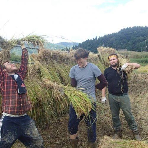 Copy of Copy of Avril rice harvesting